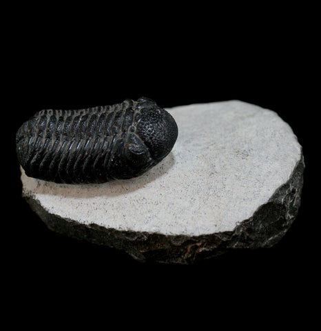 Trilobite Phacops Fossil - PaxtonGate