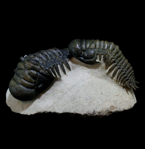 Two Trilobite Crotalocephalus Fossils In A Matrix - PaxtonGate