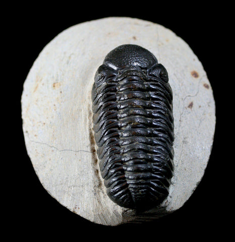 Trilobite Phacops In Matrix - PaxtonGate