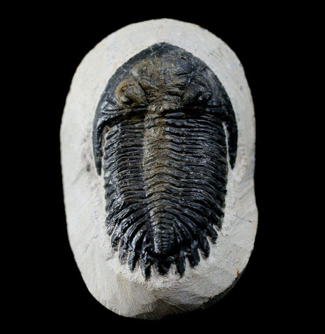 Trilobite Hollardops In Matrix - PaxtonGate