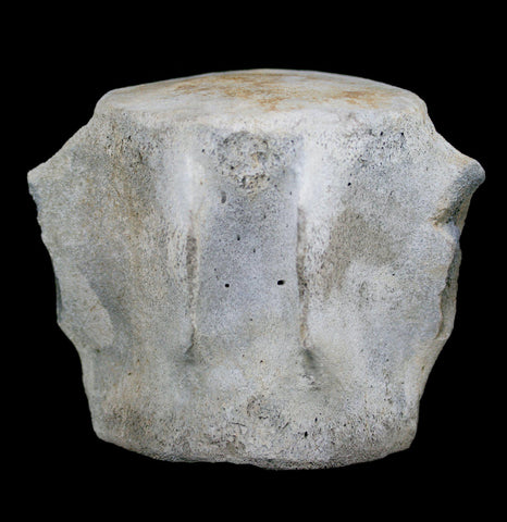 Fossilized Whale Vertebrae