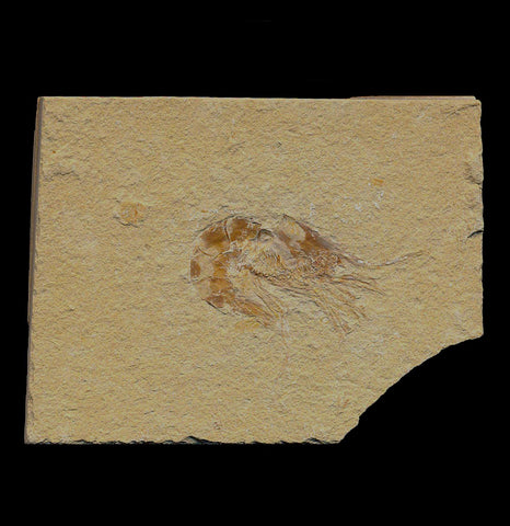 Fossil Shrimp - PaxtonGate