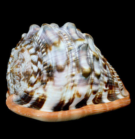 Cameo Bullmouth Shell - PaxtonGate
