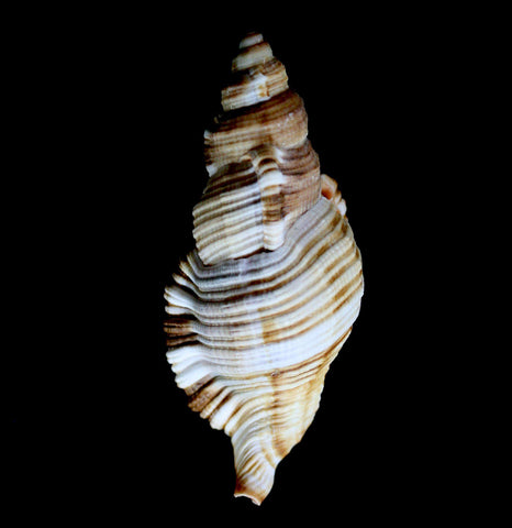 Common Triton Shell-Invertbrts-Tideline-PaxtonGate