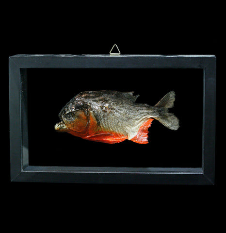 Double Glass Framed Piranha - PaxtonGate