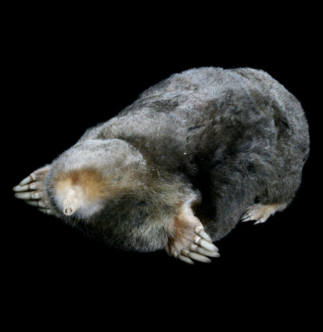 Mole Taxidermy - PaxtonGate