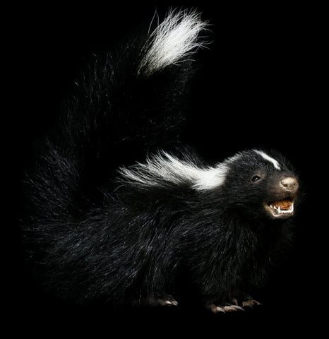 Baby Skunk Taxidermy - PaxtonGate