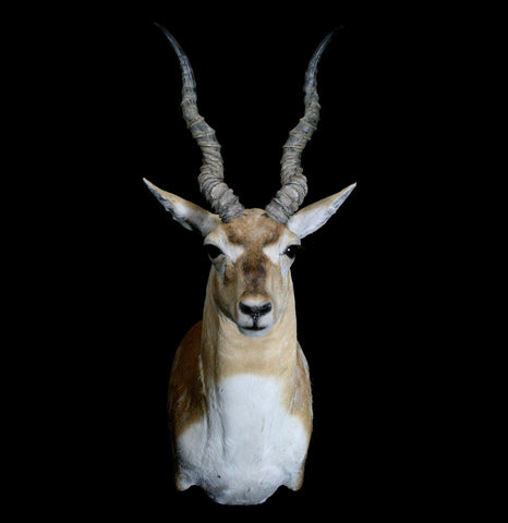 Black Buck Antelope Taxidermy Mount - PaxtonGate