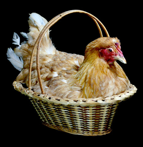 Chicken Taxidermy in natural Reed basket - PaxtonGate