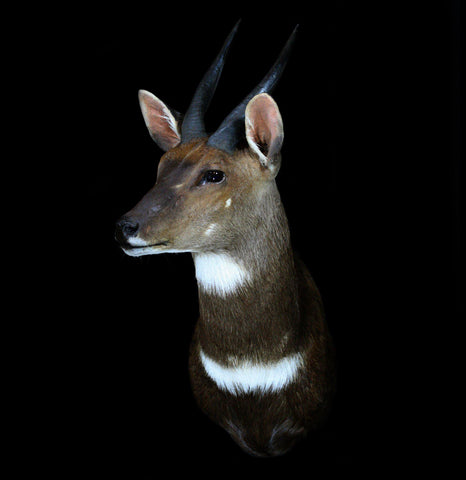 Cape Bushbuck Taxidermy Head Mount - PaxtonGate