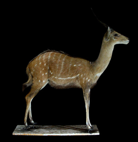 Bushbuck Full Body Taxidermy Mount - PaxtonGate