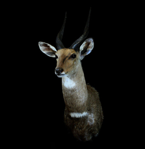 Cape Bushbuck Shoulder Mount Taxidermy - PaxtonGate
