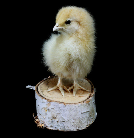 Taxidermy Baby Chick-Taxidermy-Thunder Bay Taxidermy-PaxtonGate