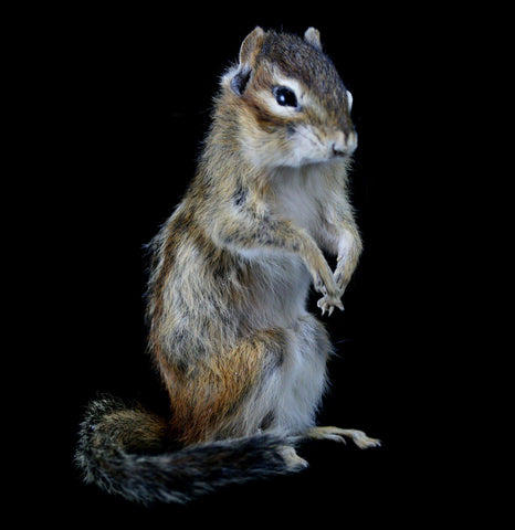 Chipmunk Taxidermy - PaxtonGate