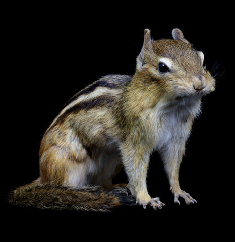 Chipmunk On All Fours Taxidermy-Taxidermy-Thunder Bay Taxidermy-PaxtonGate
