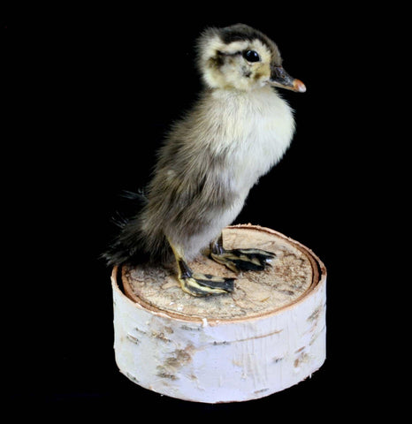 Duckling Taxidermy - PaxtonGate