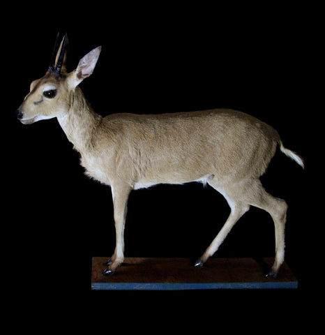 Bush Duiker Full Body Taxidermy Mount - PaxtonGate