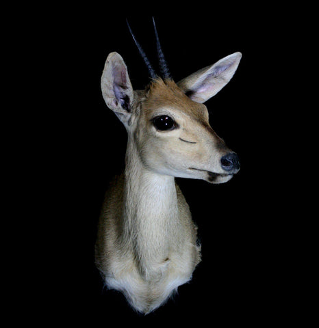 Duiker Taxidermy Mount - PaxtonGate