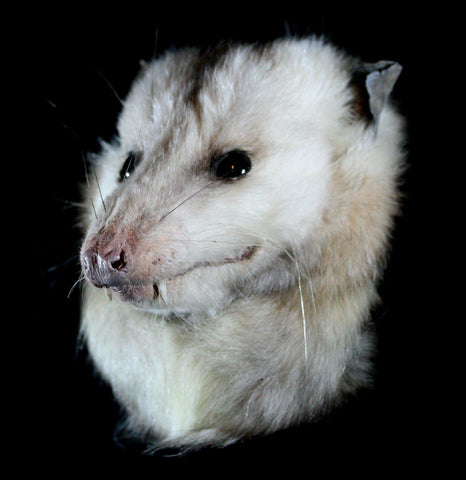 Opossum Taxidermy Head Mount-Taxidermy-Thunder Bay Taxidermy-PaxtonGate