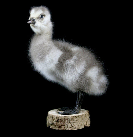 Gosling Taxidermy-Taxidermy-Thunder Bay Taxidermy-PaxtonGate
