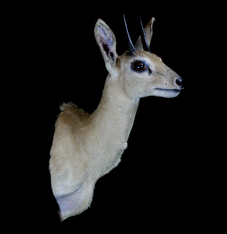 Grysbok Taxidermy Shoulder Mount - PaxtonGate