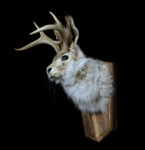 Jackalope Head Mount Taxidermy - PaxtonGate