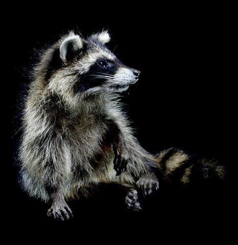 Baby Raccoon Taxidermy-Taxidermy-Thunder Bay Taxidermy-PaxtonGate