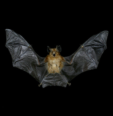 Spread Rhinolophus Lepidus Mummified Bat-Taxidermy-Atlantic Coral Enterprise-PaxtonGate