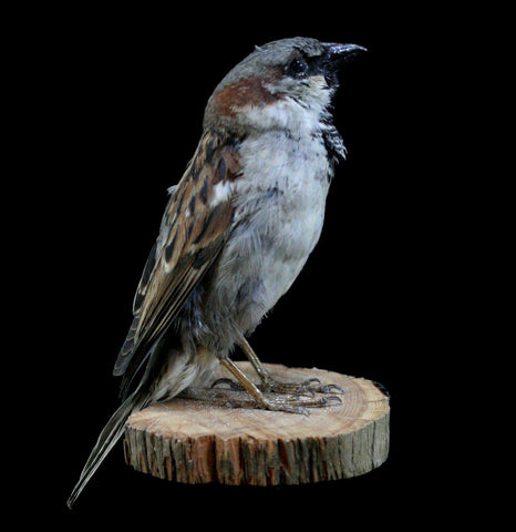 Male Sparrow Taxidermy-Taxidermy-Thunder Bay Taxidermy-PaxtonGate