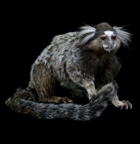 Marmoset Taxidermy - PaxtonGate