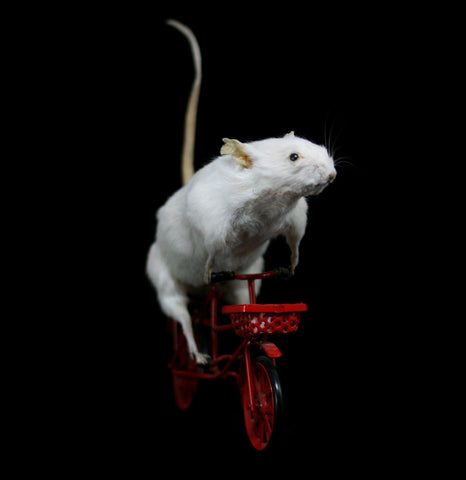 Bike Rider Taxidermy Mouse