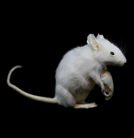 Skull Keeper Taxidermy Mouse