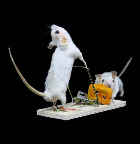 Tricky Trap White Mice Pair Taxidermy
