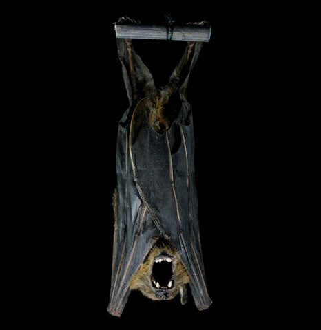 Hanging Cynopterus Minutus Mummified Bat-Taxidermy-Atlantic Coral Enterprise-PaxtonGate