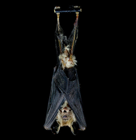 Hanging Hipposideros Madurae Mummified Bat-Taxidermy-Atlantic Coral Enterprise-PaxtonGate