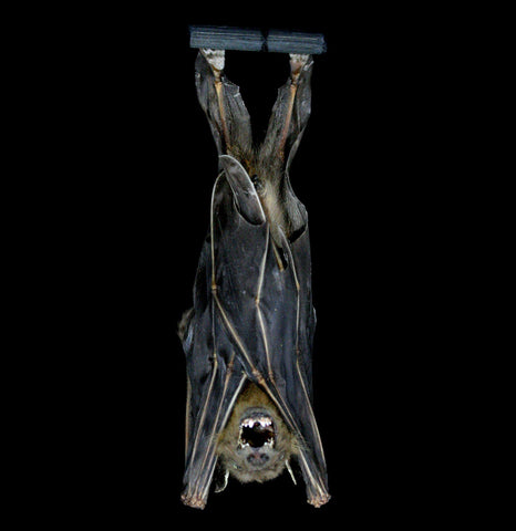 Hanging Cynopterus Brachyotis Mummified Bat-Taxidermy-Atlantic Coral Enterprise-PaxtonGate