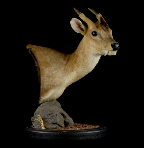 Muntjac Taxidermy Mount - PaxtonGate