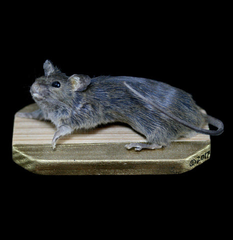 Naked Taxidermy Mouse-Taxidermy-Amber Keithley-PaxtonGate