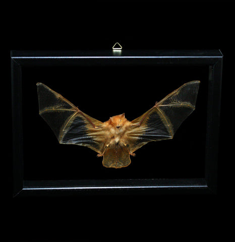 Double Glass Framed Kerivoula Picta Bat-Taxidermy-Al & Judy Scramstad-PaxtonGate