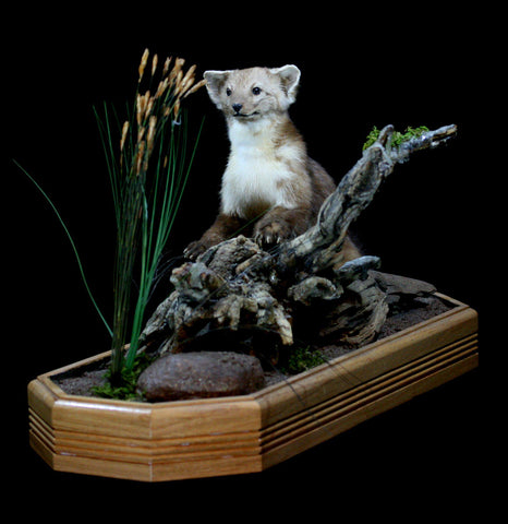 Pine Martin Taxidermy Full Body Mount - PaxtonGate