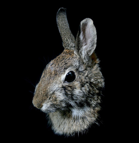 Rabbit Taxidermy Head Mount-Taxidermy-Thunder Bay Taxidermy-PaxtonGate
