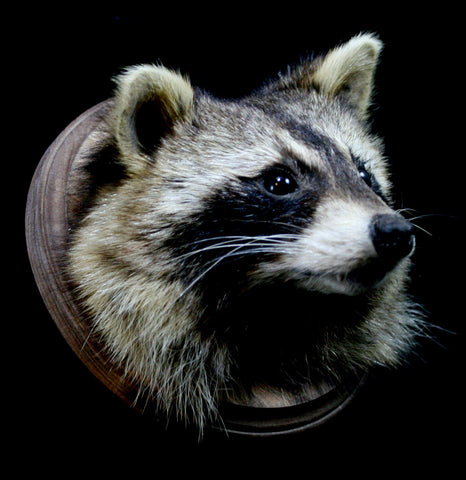 Raccoon Taxidermy Head Mount - PaxtonGate