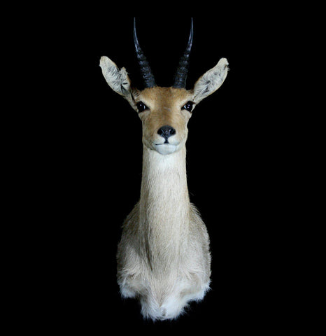 Reedbuck Taxidermy Shoulder Mount - PaxtonGate
