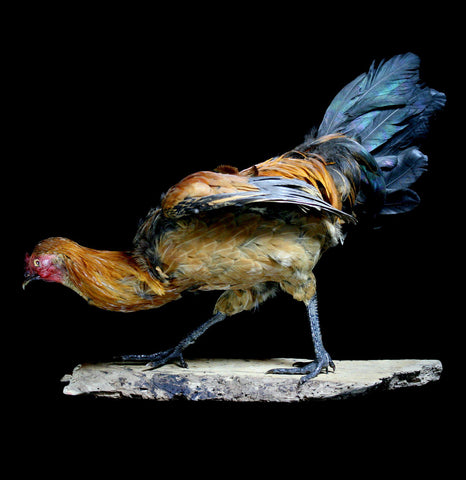 Crouching Rooster Taxidermy - PaxtonGate