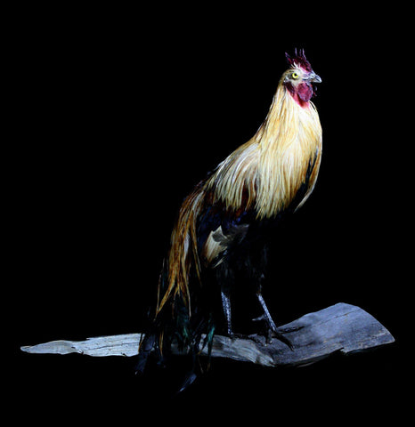 Long Tailed Taxidermy Rooster - PaxtonGate
