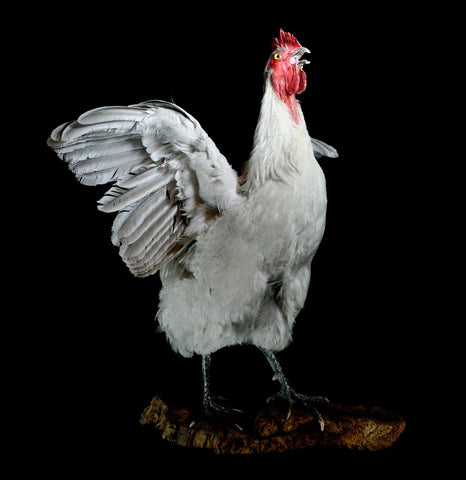 Large White Taxidermy Rooster - PaxtonGate