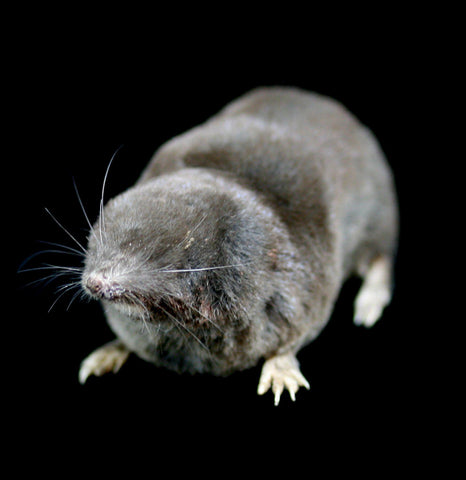 Taxidermy Shrew