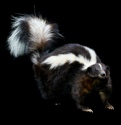 Skunk Taxidermy Full Body Mount - PaxtonGate