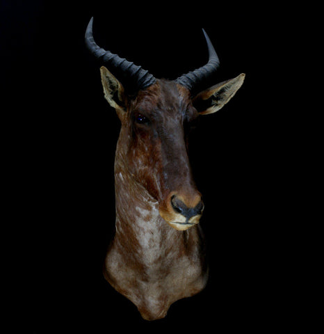 Tsessebe Taxidermy Shoulder Mount-Taxidermy-JK ANTIQUES-PaxtonGate