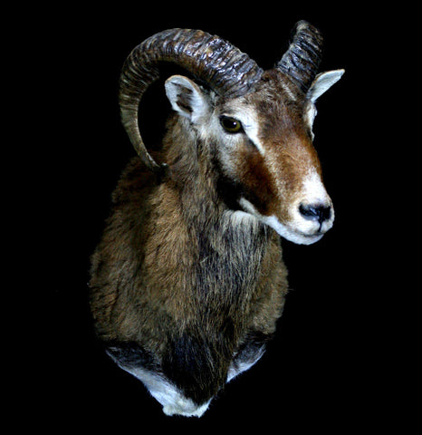Corsican Ram Taxidermy Shoulder Mount - PaxtonGate